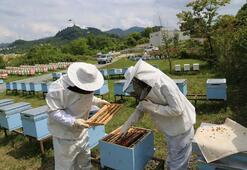 Arı sütü hasadını ev hanımları yapıyor
