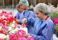 Türkiyenin ilk yerli sardunyası üretilmeye başlandı