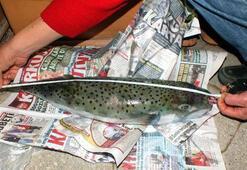 Marmariste balon balığı artışı tedirginlik yarattı