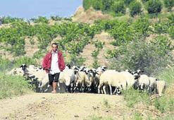 Koyun ve keçi sütü fiyatları düşmedi