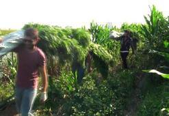 Polisler mısır tarlasındaki keneviri sırtlarında taşıdı