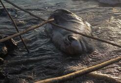 12 metrelik dev Hatayda kıyıya vurdu