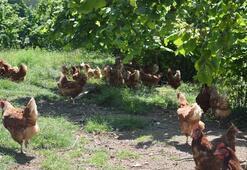 Orduda organik yumurta üretimi çiftçinin yüzünü güldürdü