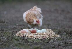 İki tavuk aldı hayatı değişti
