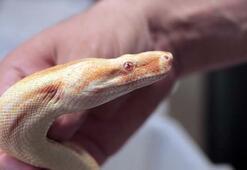 Ülkeye yasa dışı yollarla sokulan piton ve boa yılanına el konuldu