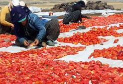 Siverekte yılda 500 ton kurutulmuş domates üretiliyor