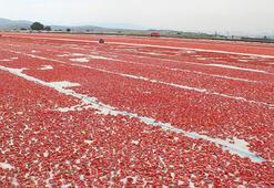 Torbalı'dan dünyaya 60 bin ton kuru domates