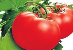 EGE'nin domatesi Ortadoğu yolunda