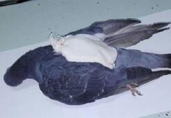 Hapishaneye güvercinle uyuşturucu sevkiyatı