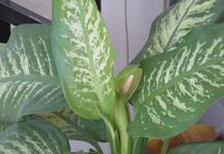 Bu bitki öldürücü olabilir