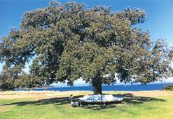 Ceviz ağacıyla, meşe ağacıyla barış...