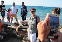 Ölü 'Caretta Caretta' Güzelbahçe sahiline vurdu