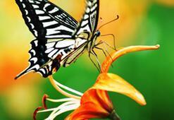 Kelebek cenneti Kaçkarlar