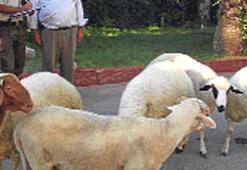 Hırsızı, koyunların dışkısı yakalattı