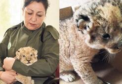 Edirne'de kaçak aslan yavrusu