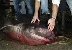 Marmara Denizinde 4 metrelik köpek balığı yakalandı