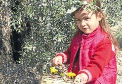 Ayvalık'ta zeytin hasadına başlandı