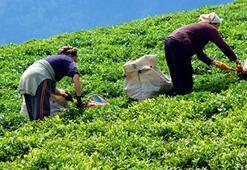 Yaş çay üreticilerine kilogram başına 13 kuruş destek