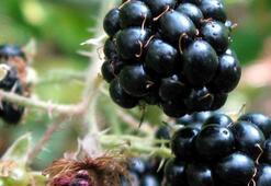 Mor renkli meyveler gençleştiriyor