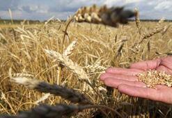 Türkiye de alarmda Rus buğdayı inceleniyor...