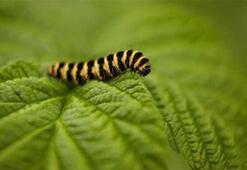 Tırtıl alerjisine dikkat