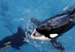 Wikie: Dünyanın konuşabilen ilk katil balinası