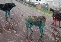 Boyalı köpeklerin sırrı çözüldü