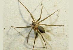 Tedavisinde örümcek zehri kullanıyorlar