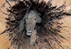 Ağaç içinde 50 yıldan fazla süredir sıkışarak mumyalanmış köpek: Stuckie