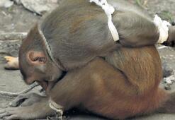 'Hırsız' maymuna domuz bağı
