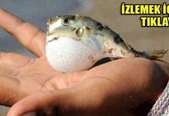 Marmaris kıyılarında balon balığı tehlikesi