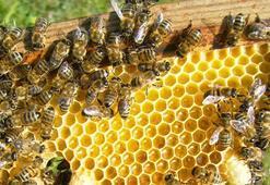 Türkiyede ana arı üretimi artıyor