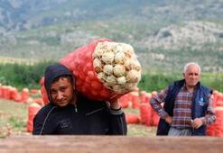 Patates ve soğan üreticisi yeni sezondan ümitli