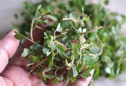 Semizotu salatası ( Yoğurtlu – sarımsaklı semizotu salatası)