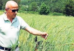 'Siyez buğdayı Türkiye'ye yeter'