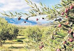 'Zeytinlik alanlar imara açılmayacak'