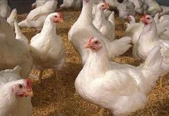 Etlik tavuk kanatlanacak