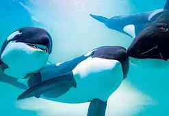 Katil balina Orkalar açlıktan düşük yapıyor