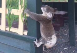 Avustralyada binaya vidalanmış ölü koala şoku