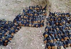 Şok fotoğraf Aşırı sıcakta haşlanıp ölen yarasalar dehşete düşürdü
