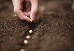 Tohumun dikilebilir olduğu nasıl anlaşılır