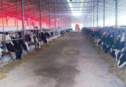 Sağmal inekler kesime gönderiliyor
