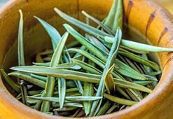 Tatlı krizine iyi gelen zeytin yaprağı çayı tarifi