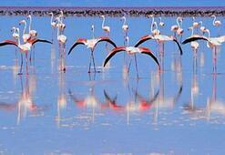Tuz Gölü flamingo cennetine dönüştü