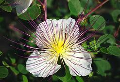 Kapari çiçeğinin faydaları