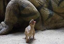 Dinozor soy ağacının geçiş türü bulundu