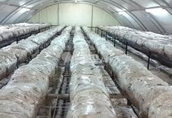 Devlet desteğiyle işini büyüttü, yılda 30 tona yakın mantar üretiyor