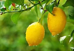 Donmuş limonun inanılmaz faydaları