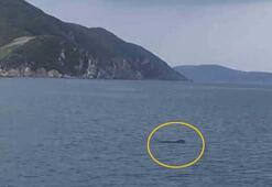 Yıllar sonra Marmara Denizinde Akdeniz foku görüldü