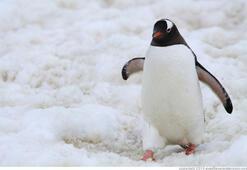Buzlu yollarda penguen gibi yürüyün